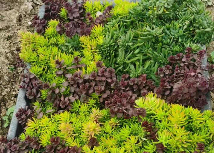 绿雕造型制作常用到哪几种植物?